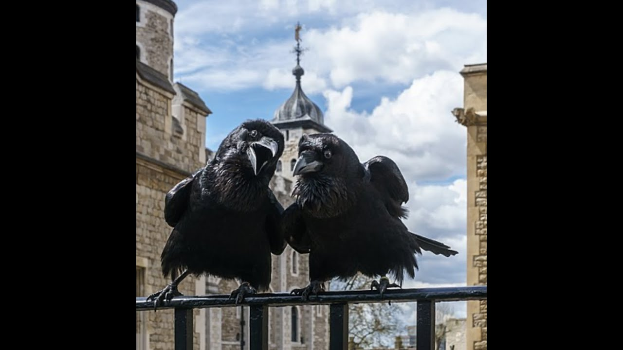 Corvids of the Crown Part 1